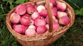Rote Äpfel im Korb im Garten stock footage