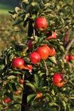 Rote Äpfel im Obstgarten stockbilder