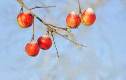 Rote Äpfel im Winter Stockbild
