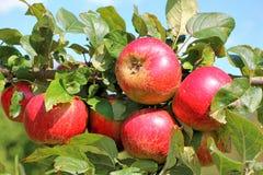 Rote Äpfel zu einer Niederlassung Stockfotografie
