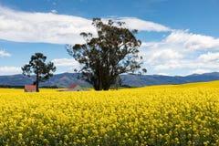 Rote überdachte Gebäude unter den hellen gelben Blumen eines Canolafeldes in Neuseeland Stockbild