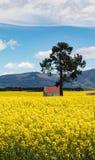 Rote überdachte Gebäude unter den hellen gelben Blumen eines Canolafeldes in Neuseeland Stockfoto
