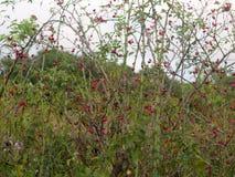 Rote üppige reife Hagebutten auf der Rebe außerhalb des wilden Futters Stockbild