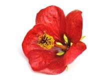 Rote Abutilonblume Lizenzfreies Stockbild