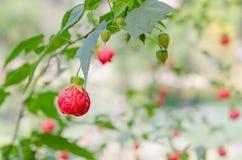 Rote Abutilonblumen Lizenzfreie Stockbilder