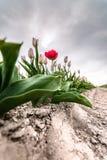 Rote abweichende Tulpe auf Feld unter dunklen Wolken Lizenzfreie Stockbilder