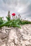 Rote abweichende Tulpe auf Feld unter dunklen Wolken Stockfotografie