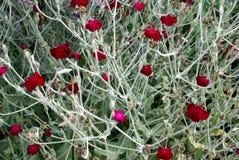 Rote Acanthaceae-Blumen Stockfotos
