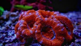 Rote Acanthastrea-Langspielplatten korallenrot im Riffbehälter Stockbilder