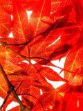 Rote Acer-Blätter Lizenzfreie Stockfotos