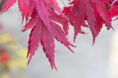 Rote Acer-Blätter mit Kopienraum Stockfoto