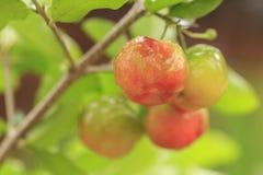 Rote Acerolakirsche auf Baum Lizenzfreies Stockfoto