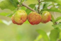 Rote Acerolakirsche auf Baum Stockbild