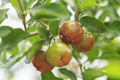 Rote Acerolakirsche auf Baum Lizenzfreies Stockbild