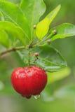Rote Acerolakirsche auf Baum Stockfotos