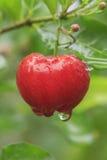 Rote Acerolakirsche auf Baum Lizenzfreie Stockfotos