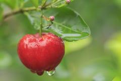 Rote Acerolakirsche auf Baum Stockfotografie