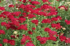 Rote Achillea-millefolium Granatapfel-Blume Lizenzfreie Stockfotografie