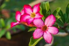 Rote Adenium-Blume Lizenzfreie Stockfotografie