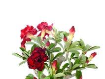 Rote Adeniumblume auf weißem Hintergrund Stockfotos