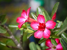 Rote Adeniumblume mit Abschluss herauf Ansicht Lizenzfreies Stockbild