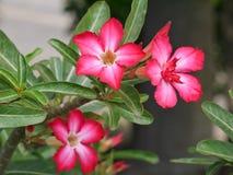 Rote Adeniumblume mit Abschluss herauf Ansicht Lizenzfreies Stockfoto