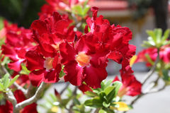 Rote Adeniumblumen Lizenzfreie Stockfotografie