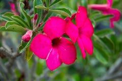 Rote Adeniumblumen im Garten Lizenzfreie Stockbilder