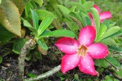 Rote Adeniumblumenblüten Stockbild