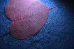 Rote Ader von Bodhi-Blatt im Licht Stockfoto