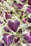 Rote Adern von purpurroten Blättern Stockfotografie