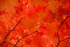 Rote Ahornblätter Lizenzfreie Stockfotografie