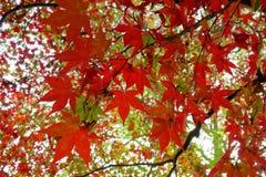 Rote Ahornblätter Lizenzfreies Stockfoto