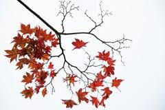 Rote Ahornblätter Stockbild