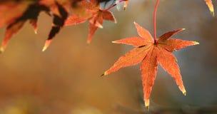 Rote Ahornblätter Stockfotografie