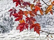 Rote Ahornblätter auf dem Baum Lizenzfreie Stockbilder