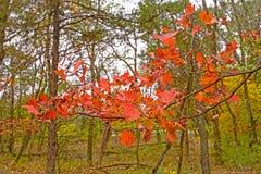 Rote Ahornblätter im Fall Stockfotografie