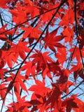 Rote Ahornhölzer Stockbilder