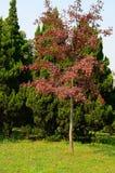 Rote Ahornhölzer und grüne Kiefern Lizenzfreies Stockbild