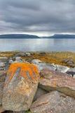 Rote Algen auf isländischen Felsen Stockbild
