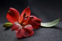 Rote Alstroemeriablumen, peruanische Lilie oder Lilie der Inkas stockfotos