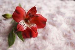 Rote Alstroemeriablumen, peruanische Lilie oder Lilie der Inkas stockfotografie