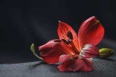 Rote Alstroemeriablumen, peruanische Lilie oder Lilie der Inkas lizenzfreie stockfotografie