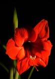 Rote Amaryllis Lizenzfreie Stockbilder