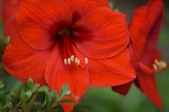 Rote Amaryllis Lizenzfreies Stockfoto