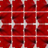 Rote Amaryllis-Blume vereinbart als Hintergrund Lizenzfreie Stockbilder