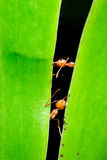 Rote Ameise auf Blatt Stockfotografie
