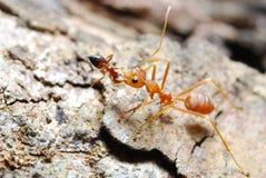 Rote Ameise auf Blatt Lizenzfreie Stockfotografie