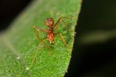 Rote Ameise auf Blatt Lizenzfreies Stockbild