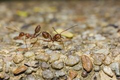 Rote Ameise auf dem Boden Bedrohen stockbild